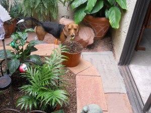 the beagle in the garden